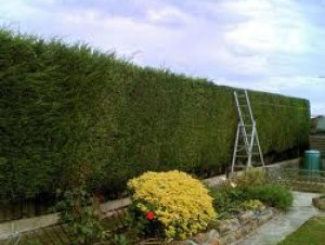Hedge Trimming & Shaping Sutton